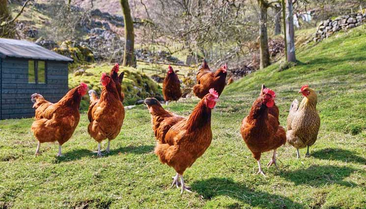 The Many Benefits of Raising Chickens - The Prepper Journal